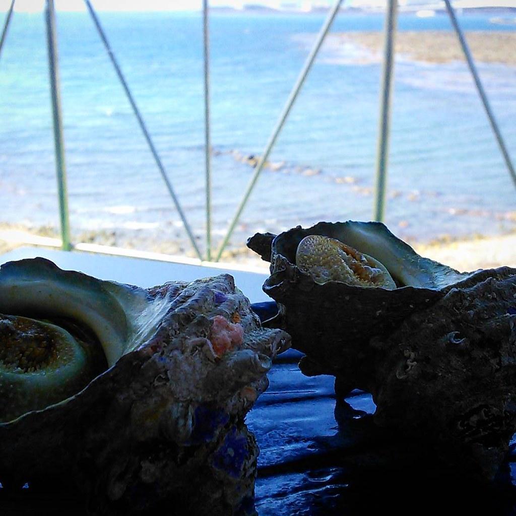 Turban shell さざえ(和歌山)