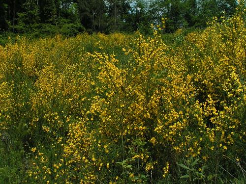 20080511 20671 0901 Jakobus Ginster Blume gelb