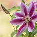 Clematis - Explored by Gordon Magee