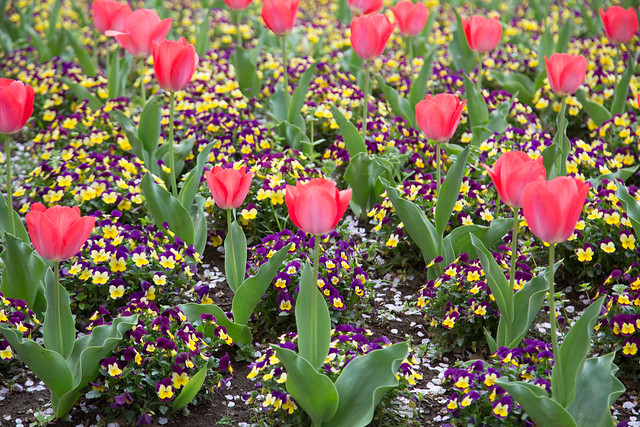 春の花の丘農林公苑