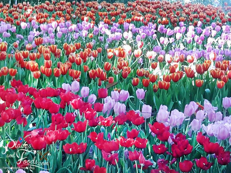 tulip farm in thailand tung chiang rai memorial park tulips
