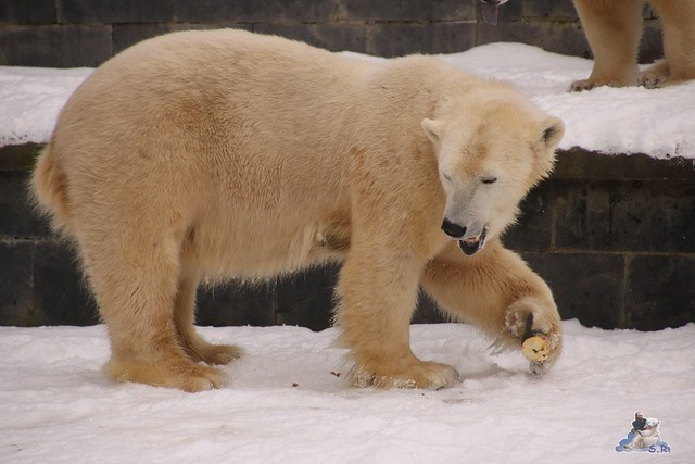 Eisbär Fiete im Zoo Rostock 23.01.2016  0249