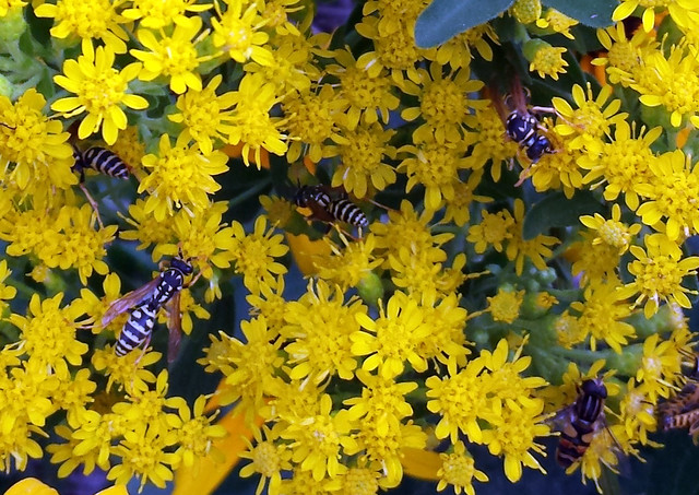 many paper wasps, and one hoverfly, on smooth goldenrod