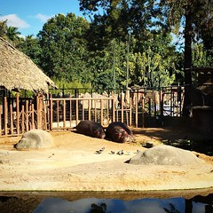 Tú y yo, así.  No sé, piénsalo. #AmorEnLosTiemposDelZika #hippopotamus #hipopotamo #zoo #sunbath