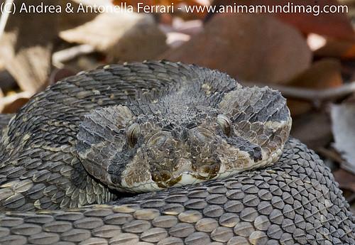 AnimaMundiMagazine posted a photo:Puff Adder Bitis arietans, Etosha NP, Namibia