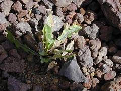 starr-021114-0105-Taraxacum_officinale-habit-Science_City-Maui