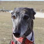 Greyhound Adventures at Hopkinton State Park, Hopkinton MA, Feb 21st 2016