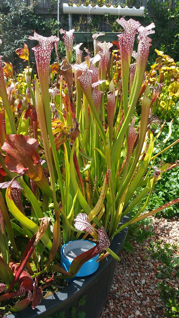 Sarracenia leucophylla cv. 'Tarnok'