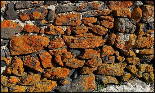 Xanthoria parietina sur mur de Basalte