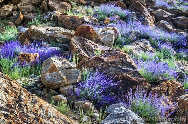 Hillside Lavender, Askole, Gilgit-Baltistan, Pakistan