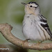 Reinita Trepadora...Black-and-white warbler...Mniotilta varia....