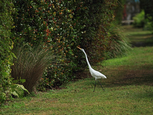 Great Egret hunting lizards 20160221