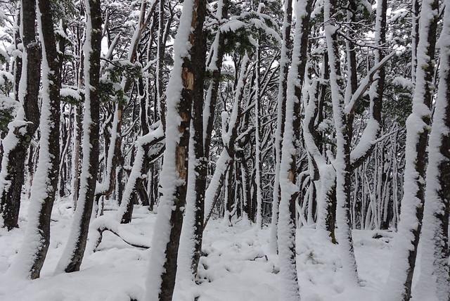 Lenga woods.