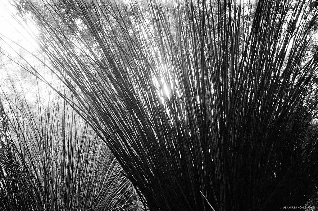 Wall of Bamboos