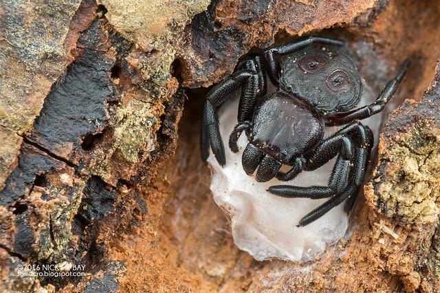 Crab spider (Stiphropus ocellatus) - DSC_6701