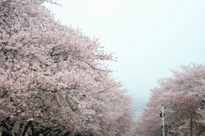 korea jinhae sakura trees