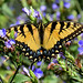 Eastern Tiger Swallowtail by all one thing (perpetually behind ... : }