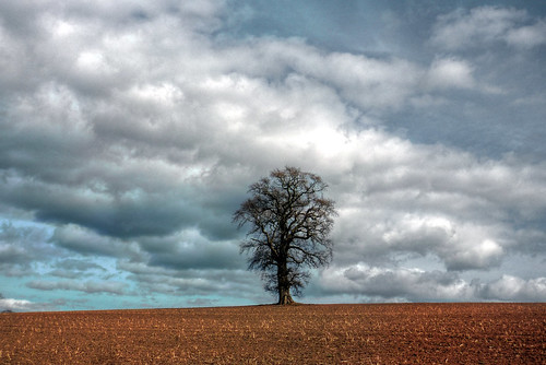 Herefordshire - Sellac - Oak tree on horizon