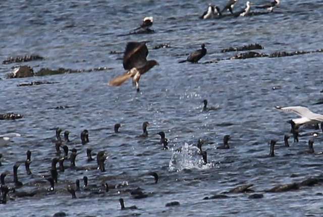 Whistling kite chasing cormorants.