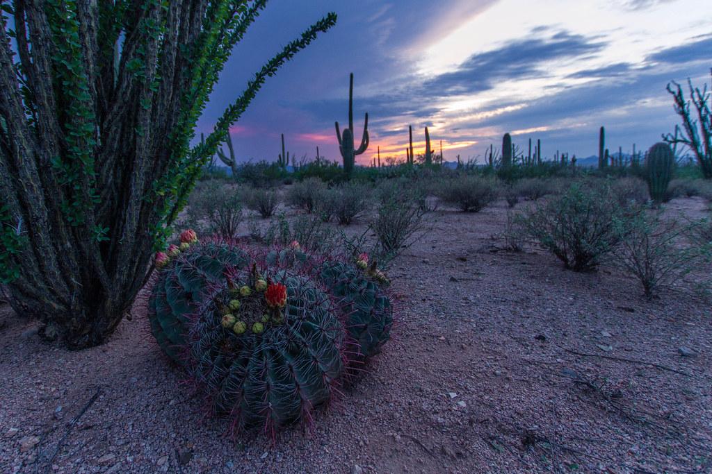 Saguaro-14