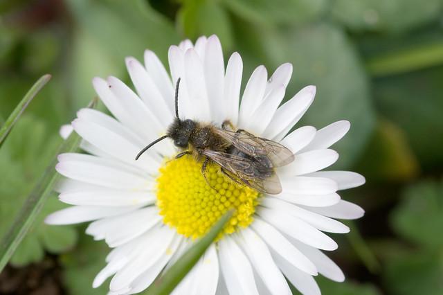 Andrena bicolor (m)