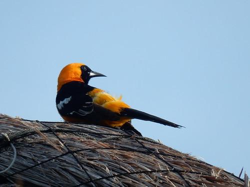 Mahahual - bird