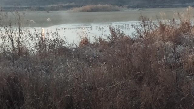 공릉천 관찰일기-청둥오리들의 아침수다