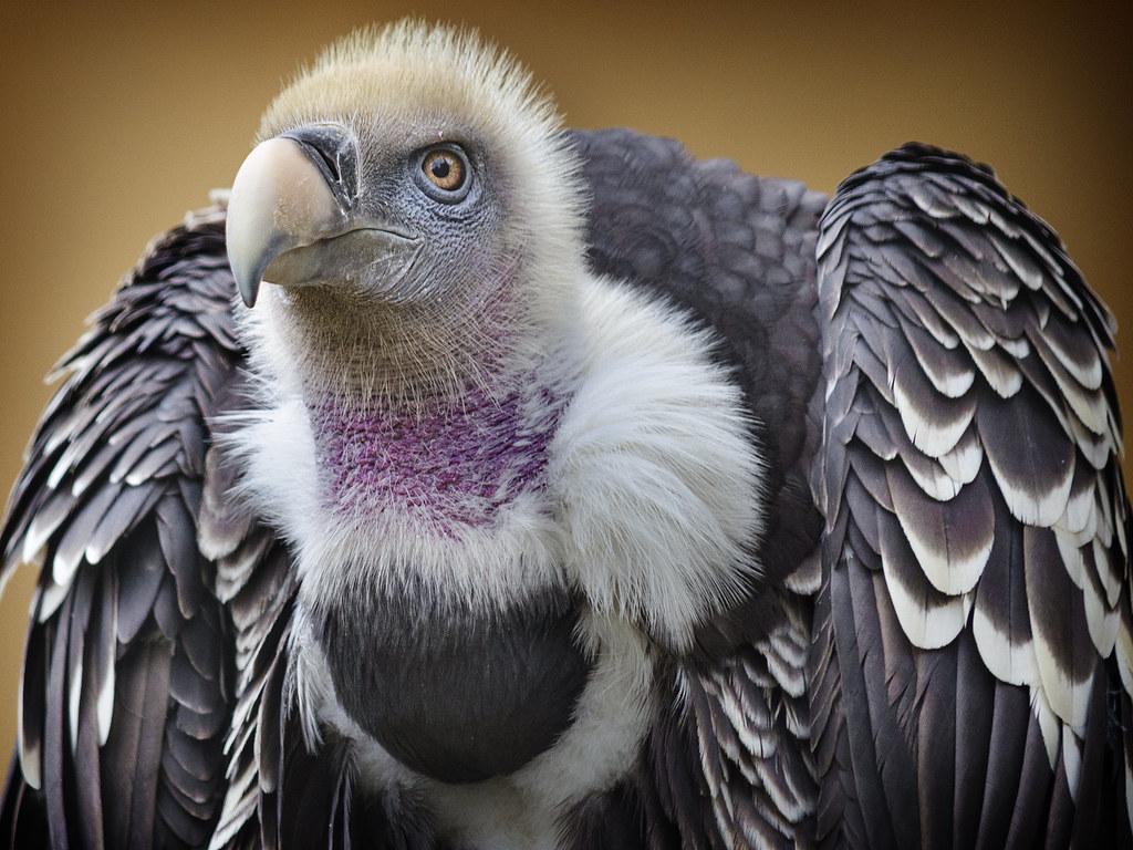 Vulture Elegance