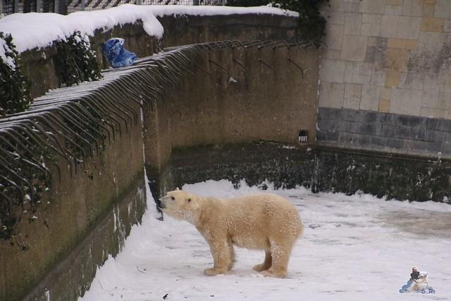 Eisbär Fiete im Zoo Rostock 23.01.2016  08