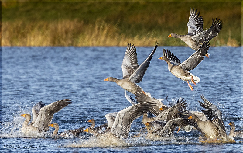 Gaggle of Greylag Geese