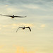 brown pelicans fishing in the evening by Brian D. Tucker