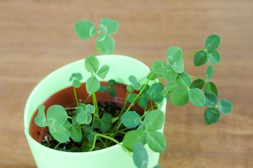 四つ葉のクローバー栽培セット