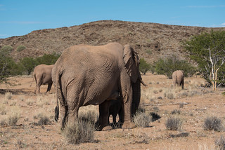 Wüstenelefanten im Aba Huab River