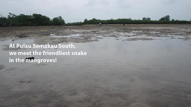 Dog-faced water snake, Schneider's Bockadam (Cerberus schneiderii)