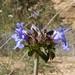 Lamiaceae, Salvia columbariae, Chia Sage