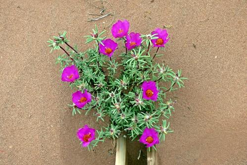 flor de seda o fique (Portulaca grandiflora) 3