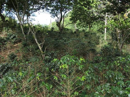 Topes de Collantes: une plantation de café, bien à l'ombre des arbres