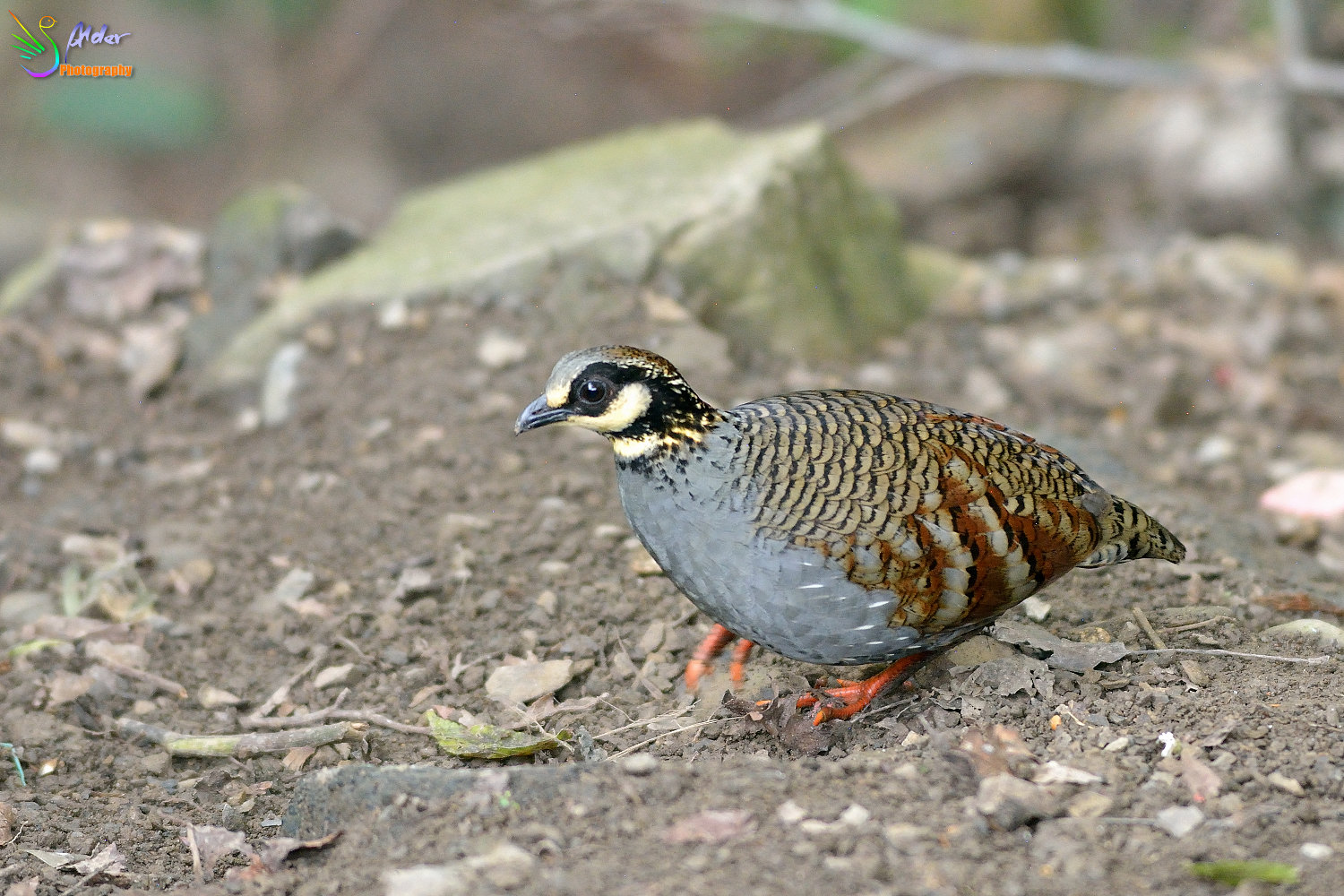Formosan_Hill_Partridge_0540