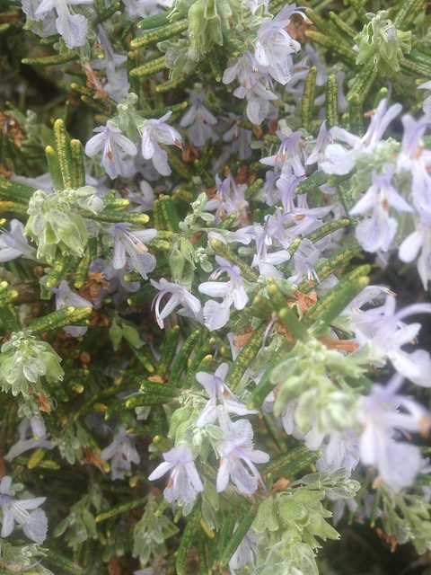 Rosemary in bloom for remembrance