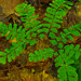 Small photo of Maidenhair Fern (Adiantum aleuticum)