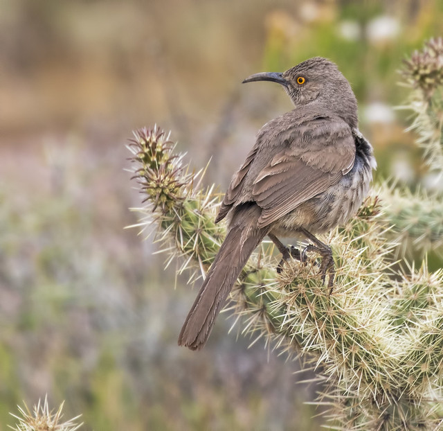 Curve-billed Thrasher 10_7D2_110416