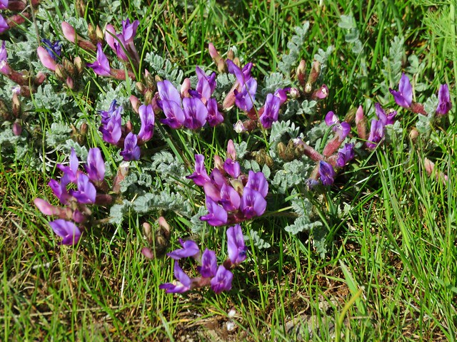 Woolly-pod Milk-vetch