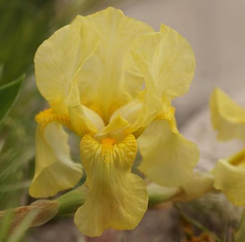 Iris 'Sangreal' - Jacob Sass 1935 26288181720_e2fe9f4c84