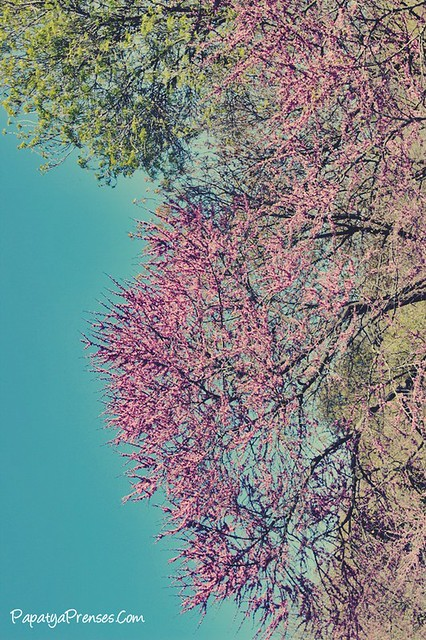 fethipaşa korusunda erguvan mevsimi 041