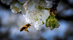 Bee on cherry blossom - Photo of Viville