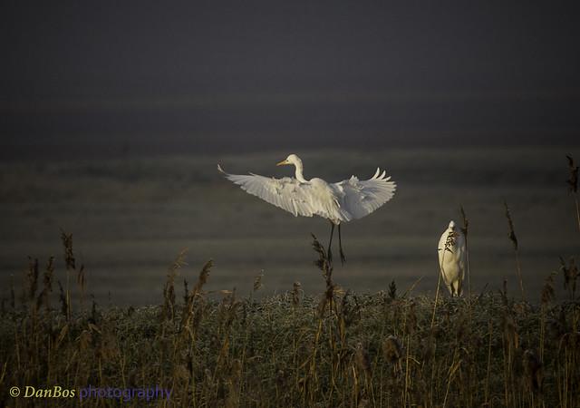 Great White Egrets (Ardea Alba) on a winter morning in Comacchio Lagoon