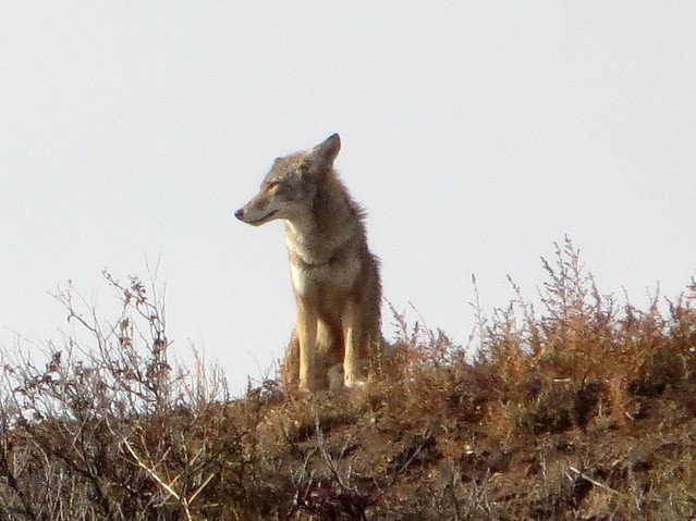 wet coyote after the rain