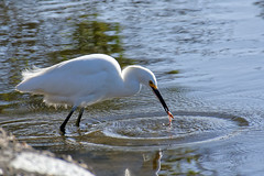 Snowy Egret Fishing in Shoreline Lake