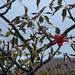 starr-080305-3277-Bombax_ceiba-leaves_and_flowers-Ala_Moana_Beach_Park-Oahu