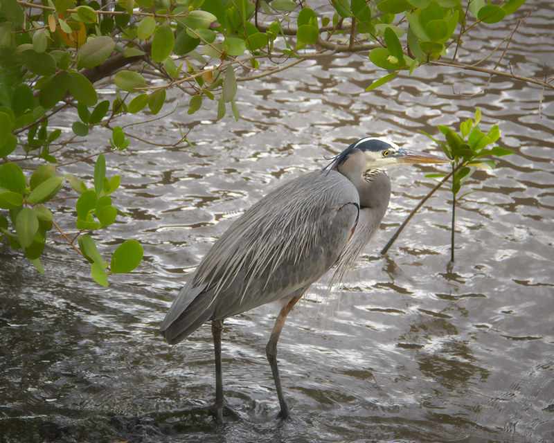 7/52 Great Blue Heron